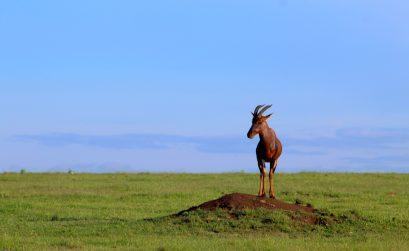 Topi Antelope - Maasai Mara, Kenya